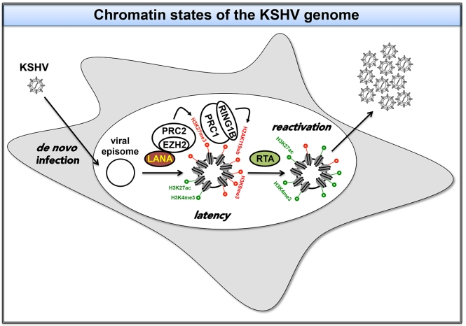 Epigenetic regulation of KSHV genome